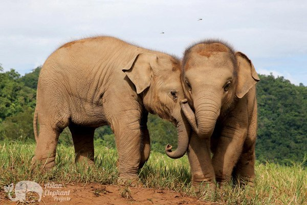 Baby elephants at Elephant_Nature_Park
