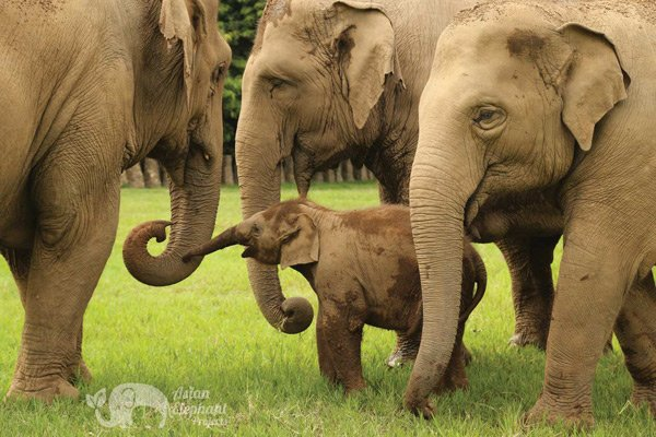 Baby elephant and family at Elephant_Nature_Park