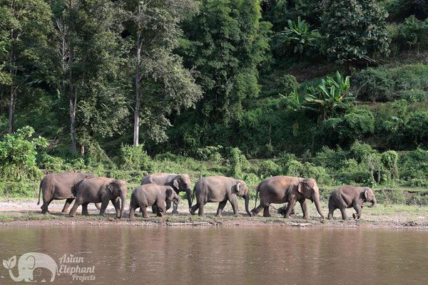 Large herd at Elephant_Nature_Park