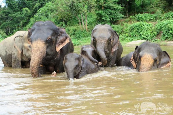 Elephants bathing at Elephant_Nature_Park