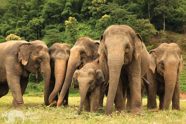 Herd at Elephant Nature Park
