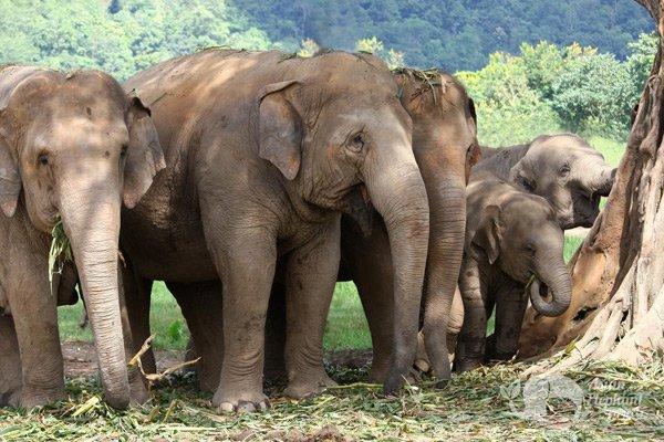 Elephants grazing at Elephant Nature Park