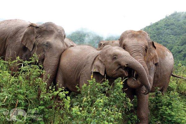 Elephants foraging at Elephant Nature Park