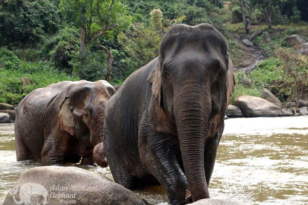 elephants in the river at Elephant Pride ethical elephant tour