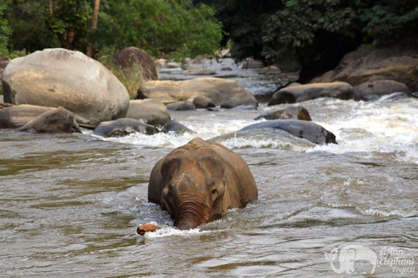 Elephant bathes in the river at ethical elephant tour