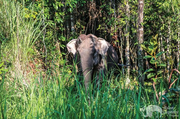 elephant roaming the jungle at ethical elephant sanctuary in Cambodia