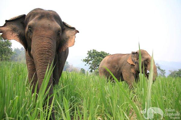 elephants grazing together on elephant tour