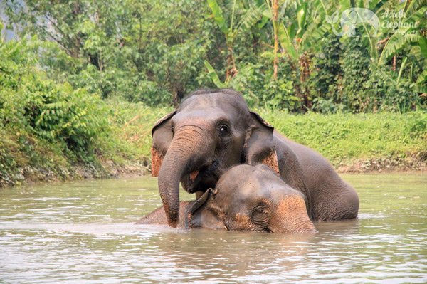 elephants playing together in the pool at ethicall elephant sanctuary