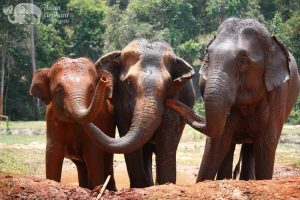 Intimate moment between elephants at elephant tour Thailand