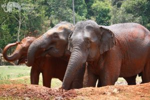 rescued ephants playing in the mud