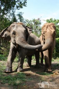 Elephants socializing at ethical elephant tour near Chiang Mai in Thailand