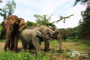 Elephants foraging in Thailand