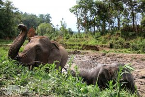 Elephants freed from exploitation in Thailand