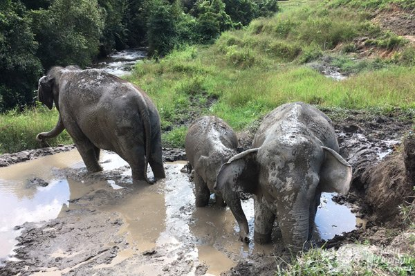Elephants play in the mud at ethical elephant sanctuary near Chiang Mai in Thailand
