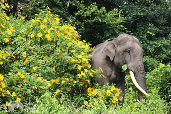 Elephant stands majestically by flowers at ethical elephant sanctuary near Chiang Mai in Thailand