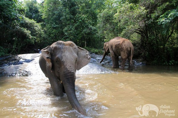 Elephants cool off in the stream at ethical elephant tour near Chiang Mai in Thailand