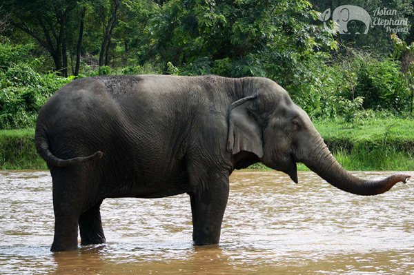 elephant stands in the river in northern thailand