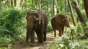 Elephants raoming the jungle at ethical elephant sanctuary near Chiang Mai in Thailand