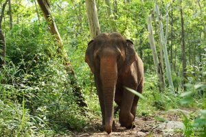 Elephant wanders the forest at Sunshine for Elephants ethical elephant sanctuary near Chiang Mai in Thailand