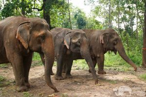 Elephants in the forest at ethical elephant sanctuary near Chiang Mai in Thailand