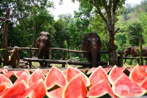 Elephant feeding at ethical elephant tour in Thailand near Chiang Mai