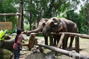 Feeding elephants at Sunshine for Elephants ethical elephant sanctuary