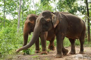 Elephant friends foraging in the jungle at ethical elephant sanctuary near Chiang Mai in Thailand