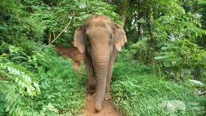 Elephant wanders the jungle at ethical elephant tour near Chiang Mai in Thailand