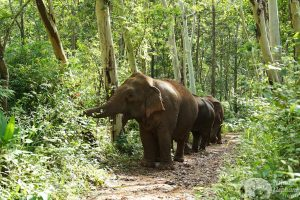 Elephants wandering the jungle at at at ethical elephant tour near Chiang Mai in Thailand