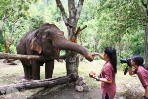 Feeding elephants at at at ethical elephant tour near Chiang Mai in Thailand