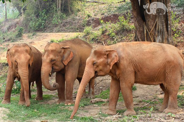Elephants socializing at elephant tour near Elephant Nature Park