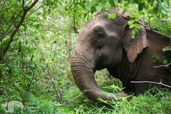 elephant roams the jungle and forages at ethical elephant tour by asian elephant projects