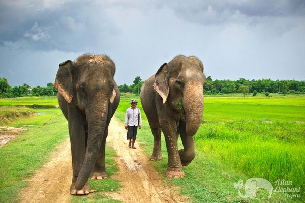 Walking with elephants at ethical elpehant volunteer project in Thailand