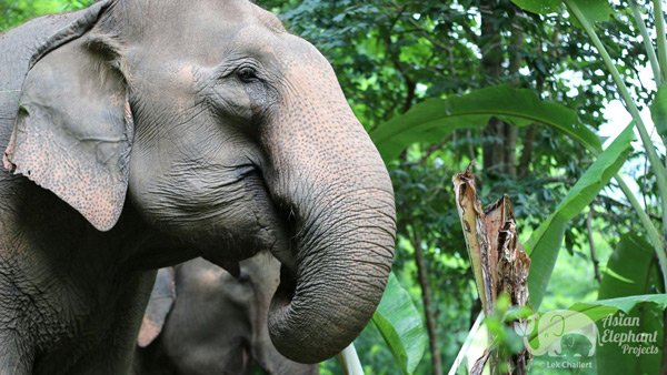 Care for Elephants at Ethical elephant sanctuary Thailand