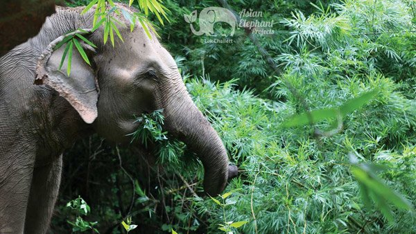 elephants foraging at Ethical elephant sanctuary Thailand