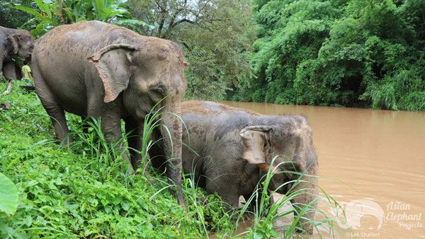 elephants by the river at Ethical elephant sanctuary Thailand