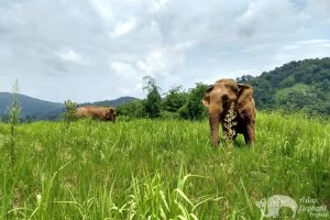 Elephants grazing on the grassy hilltop at ethical elephant sanctuary near Chiang Mai in Thailand