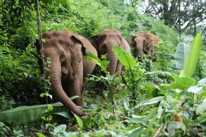 walking in the jungle with elephants at ethical elephant sanctuary near Chiang Mai in Thailand
