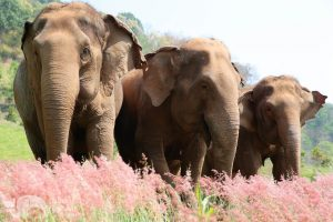 Elephant Sanctuary near Chiang Mai in Thailand