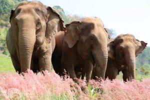 Elephant Sanctuary near Chiang Mai in Thailand