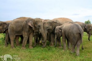 Herd of elephants communicating elephant sanctuary near Surin in Thailand