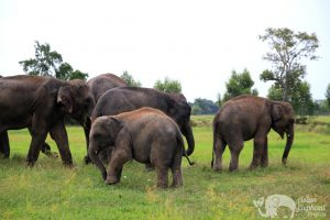 Herd of elephants at elephant sanctuary near Surin in Thailand