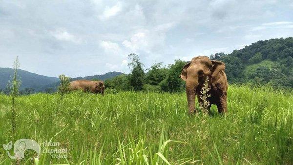 elephants grazing at Ethical elephant sanctuary Thailand