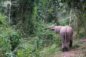 Elephants forage in the jungle at ethical elephant sanctuary near Chiang Mai in Thailand