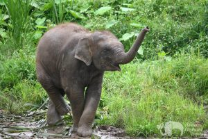 Baby Asian elephant sniffs the air with his trunk