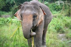 Asian elephant grazing at ethical elephant tour Chiang Mai Thailand