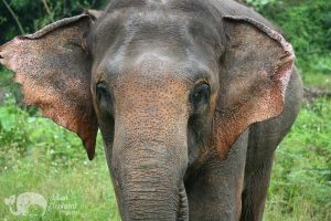 Close encounter with Asian elephant