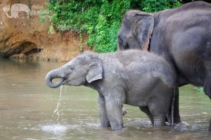 Baby Asian elephant drinking