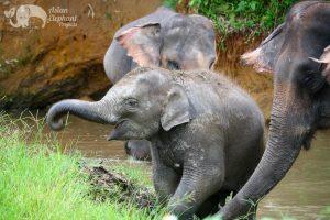 Baby Thai elephant