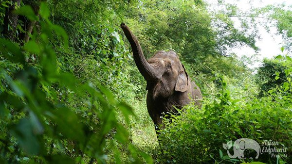 Elephants foraging in the jungle at Love for Elephants ethical elephant sanctuary
